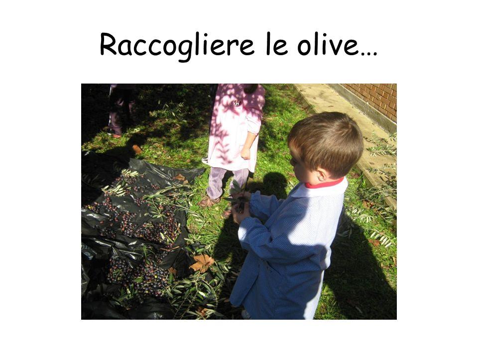 Raccogliere le olive…
