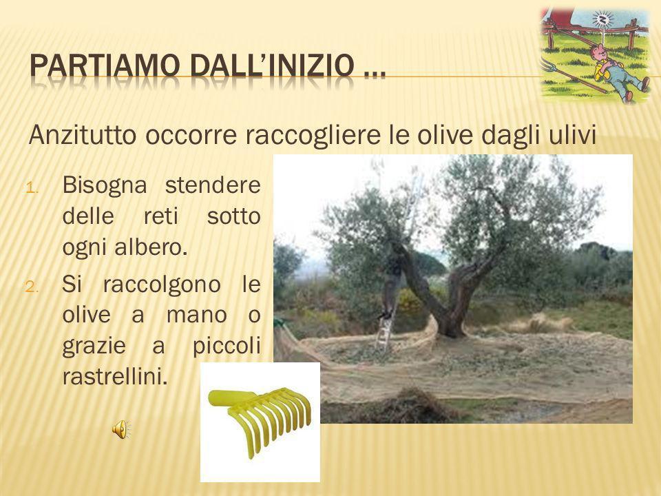 Partiamo dall'inizio ... Anzitutto occorre raccogliere le olive dagli ulivi. Bisogna stendere delle reti sotto ogni albero.