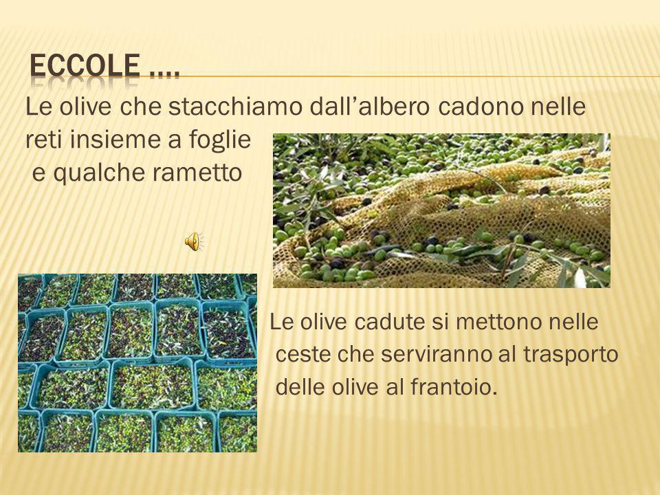 Eccole .... Le olive che stacchiamo dall'albero cadono nelle reti insieme a foglie e qualche rametto