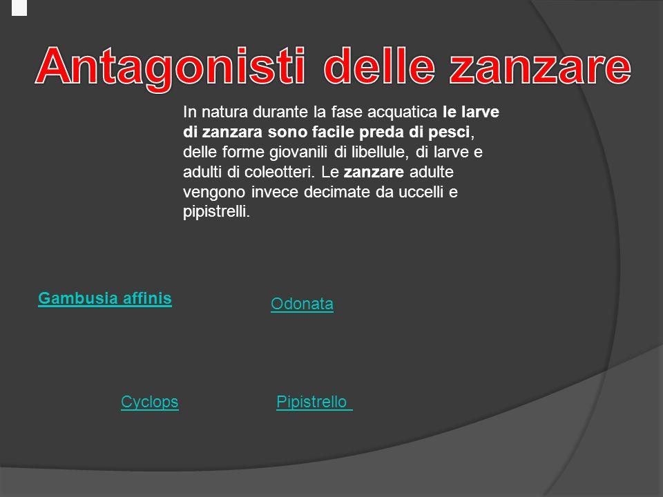 Le zanzare autori grillo marco alemano andrea massini for Pesci da laghetto mangia zanzare