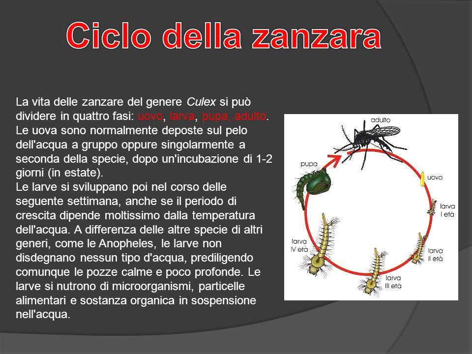 Le zanzare autori grillo marco alemano andrea massini for Le zanzare non pungono i malati