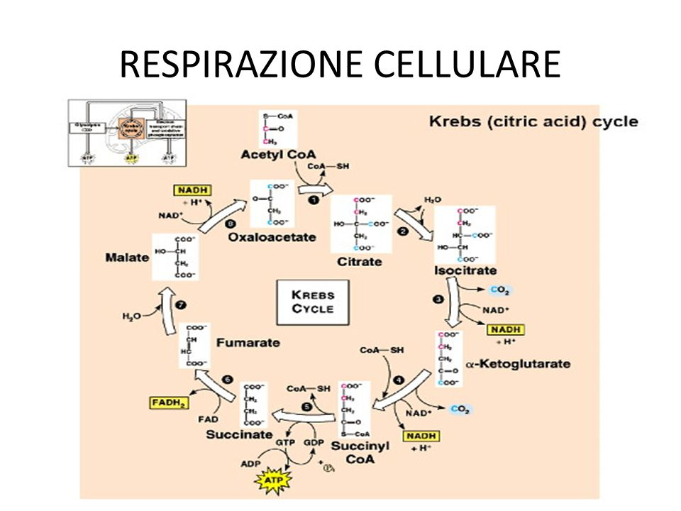 RESPIRAZIONE CELLULARE