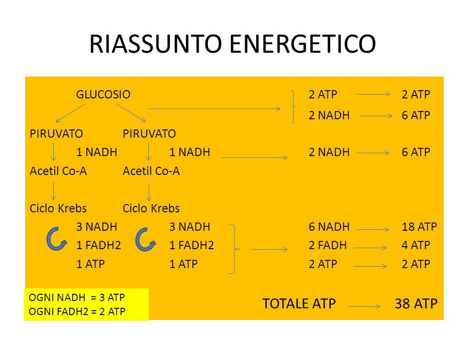 RIASSUNTO ENERGETICO GLUCOSIO 2 ATP 2 ATP TOTALE ATP 38 ATP