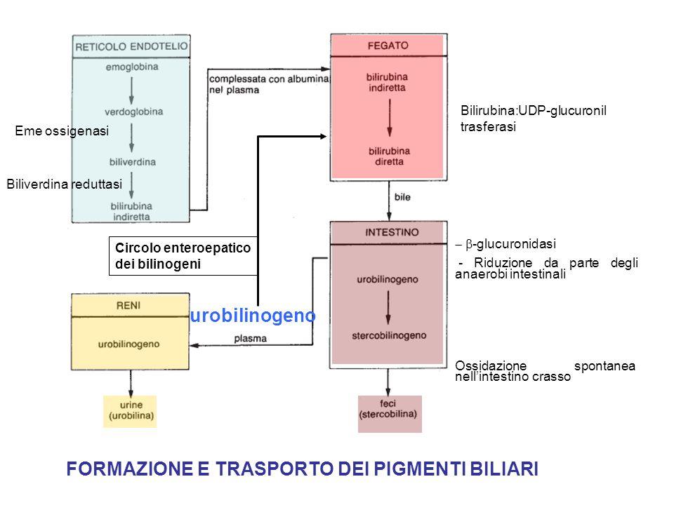 FORMAZIONE E TRASPORTO DEI PIGMENTI BILIARI