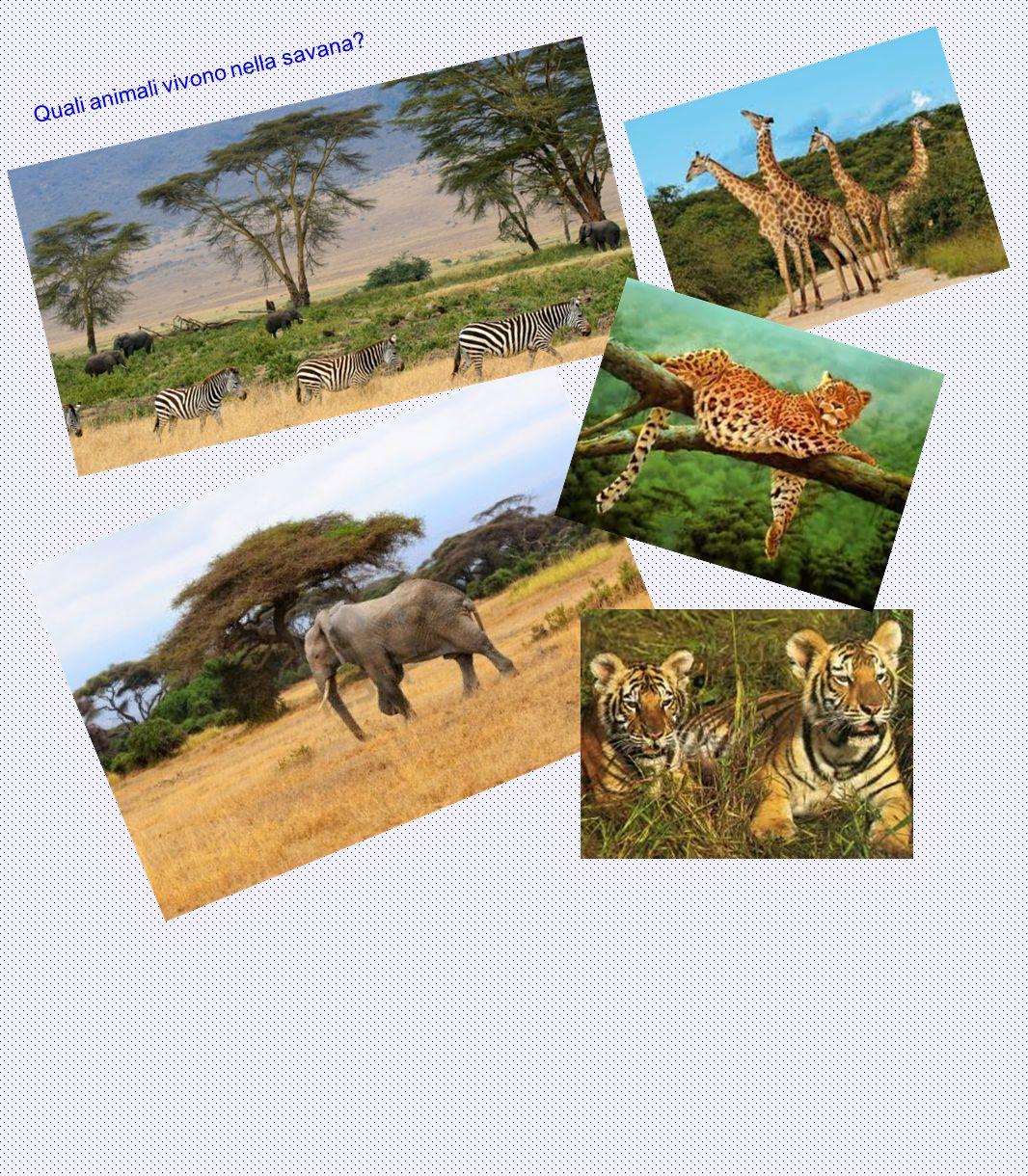 Quali animali vivono nella savana