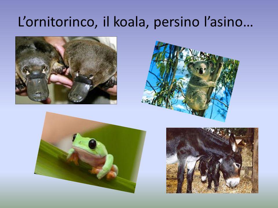 L'ornitorinco, il koala, persino l'asino…