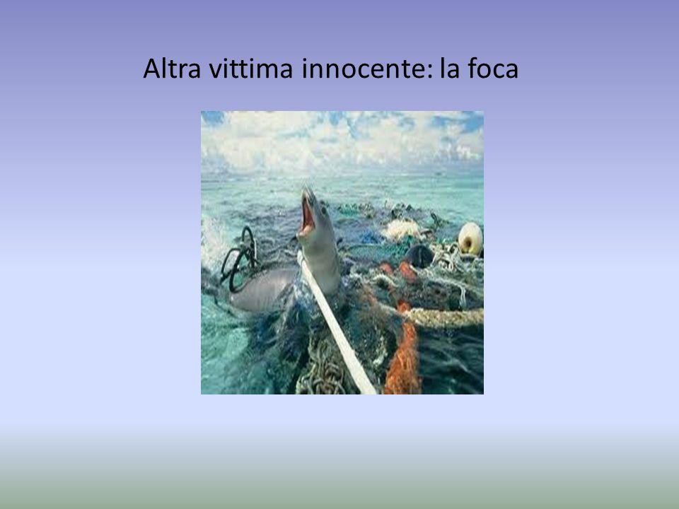 Altra vittima innocente: la foca