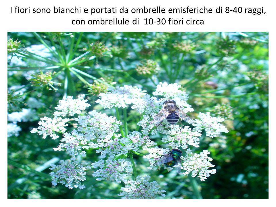 I fiori sono bianchi e portati da ombrelle emisferiche di 8-40 raggi, con ombrellule di 10-30 fiori circa
