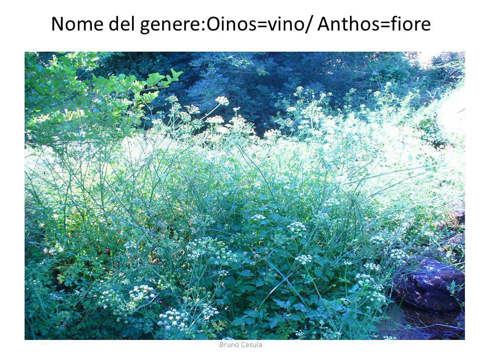 Nome del genere:Oinos=vino/ Anthos=fiore