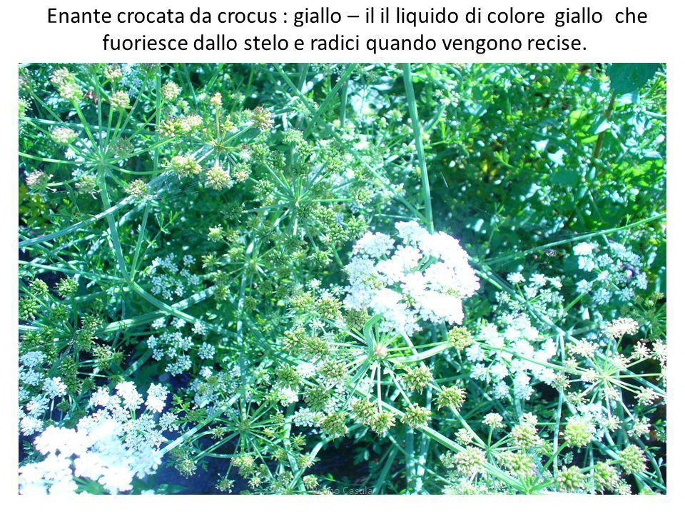 Enante crocata da crocus : giallo – il il liquido di colore giallo che fuoriesce dallo stelo e radici quando vengono recise.