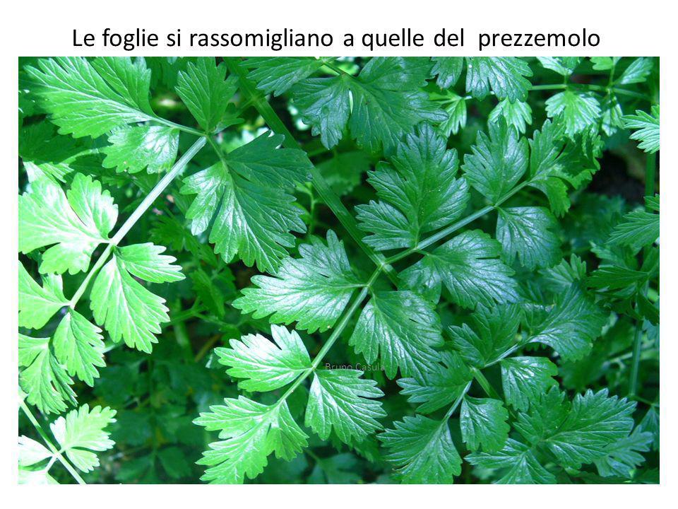 Le foglie si rassomigliano a quelle del prezzemolo