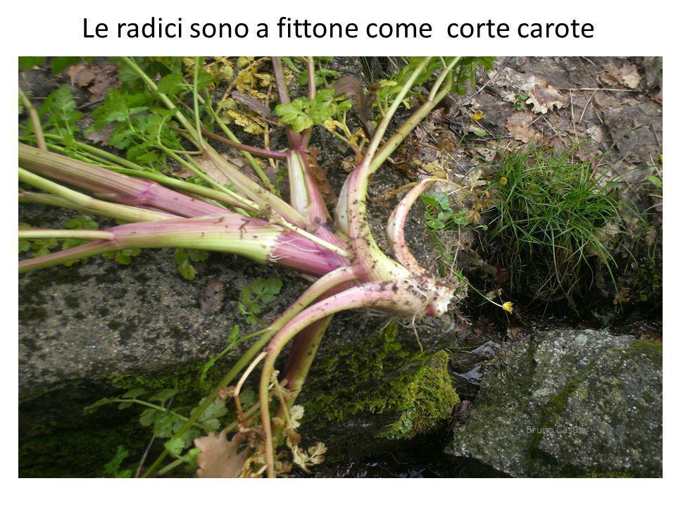 Le radici sono a fittone come corte carote