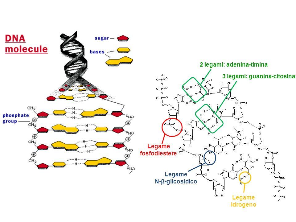 RISPOSTA B 2 legami: adenina-timina 3 legami: guanina-citosina