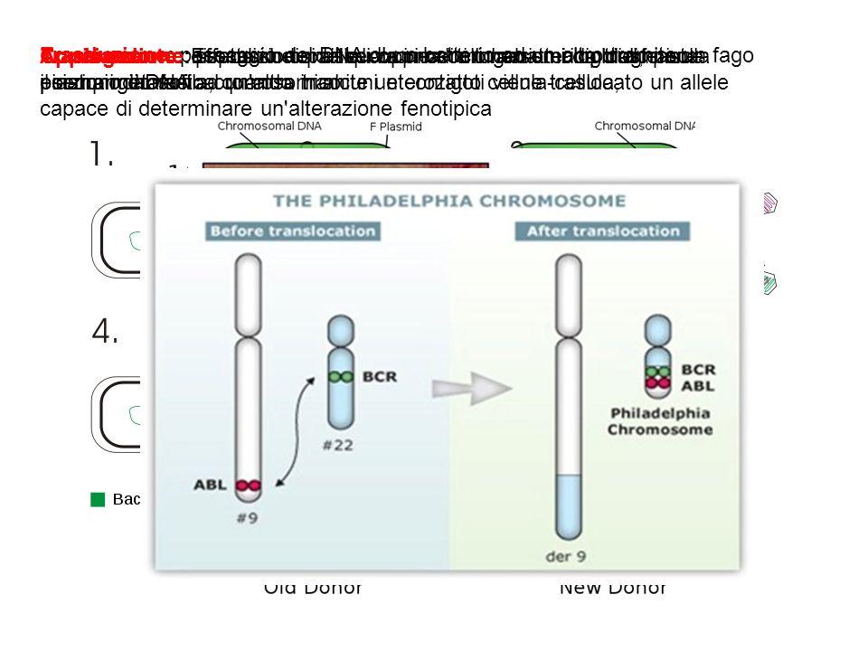 Traslocazione: scambio di parti di cromosomi non omologhi durante il riarrangiamento cromosomico