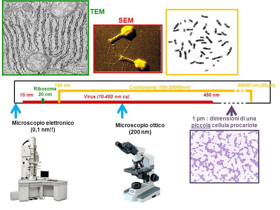 RISPOSTA D TEM SEM 1 μm : dimensioni di una piccola cellula procariote
