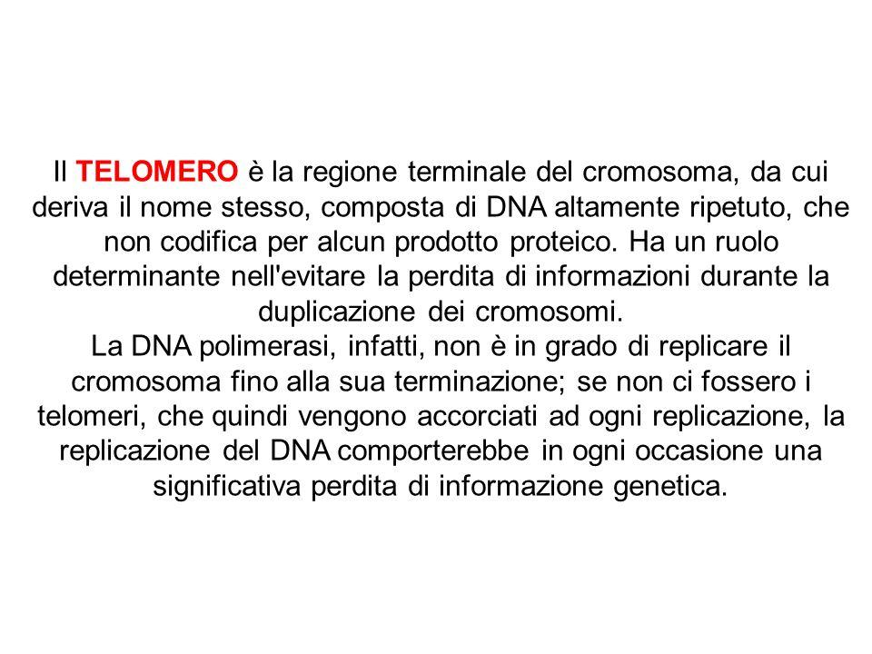 Il TELOMERO è la regione terminale del cromosoma, da cui deriva il nome stesso, composta di DNA altamente ripetuto, che non codifica per alcun prodotto proteico. Ha un ruolo determinante nell evitare la perdita di informazioni durante la duplicazione dei cromosomi.