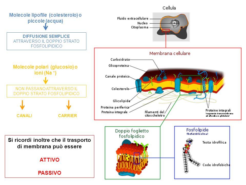 Si ricordi inoltre che il trasporto di membrana può essere