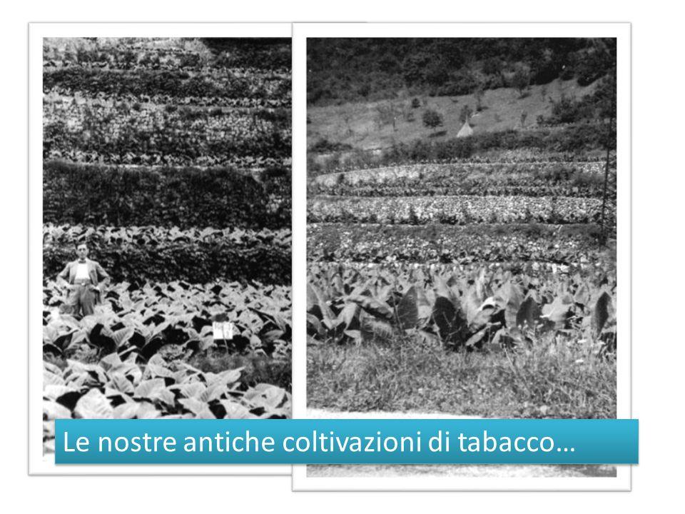 Le nostre antiche coltivazioni di tabacco…