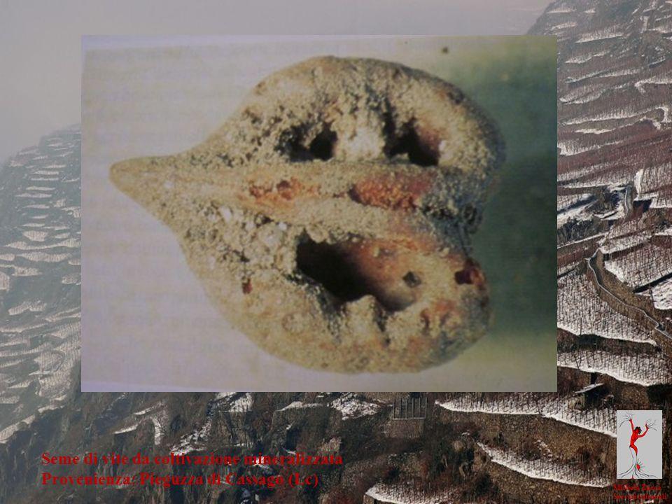 Seme di vite da coltivazione mineralizzata