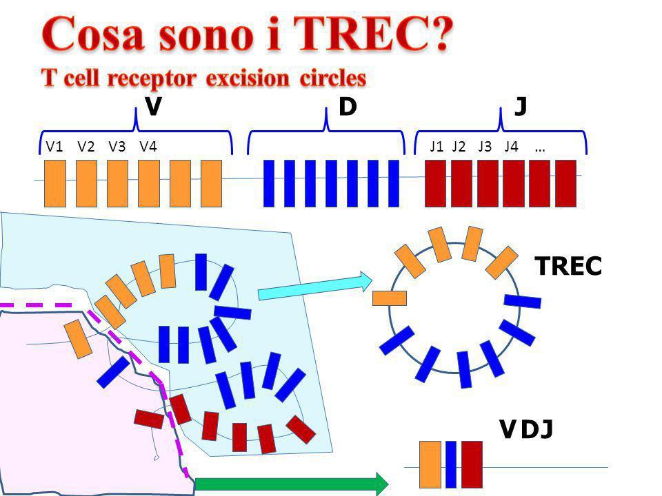 Cosa sono i TREC T cell receptor excision circles V D J TREC V D J V1