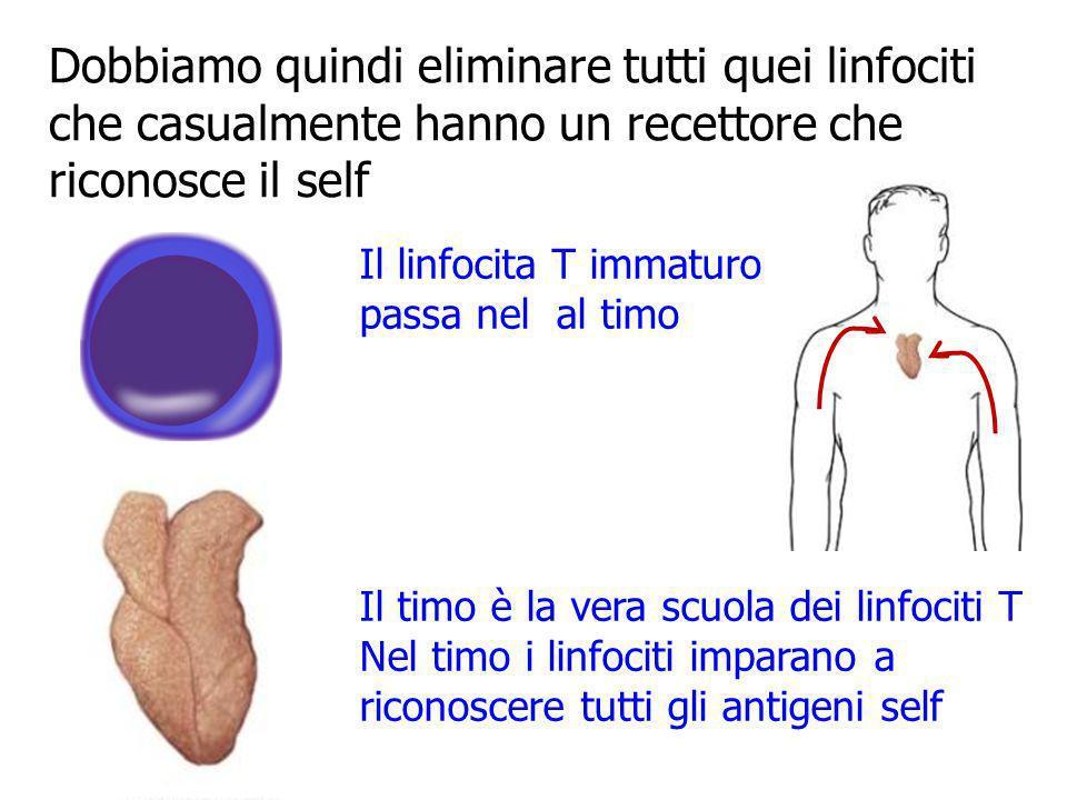Dobbiamo quindi eliminare tutti quei linfociti che casualmente hanno un recettore che riconosce il self