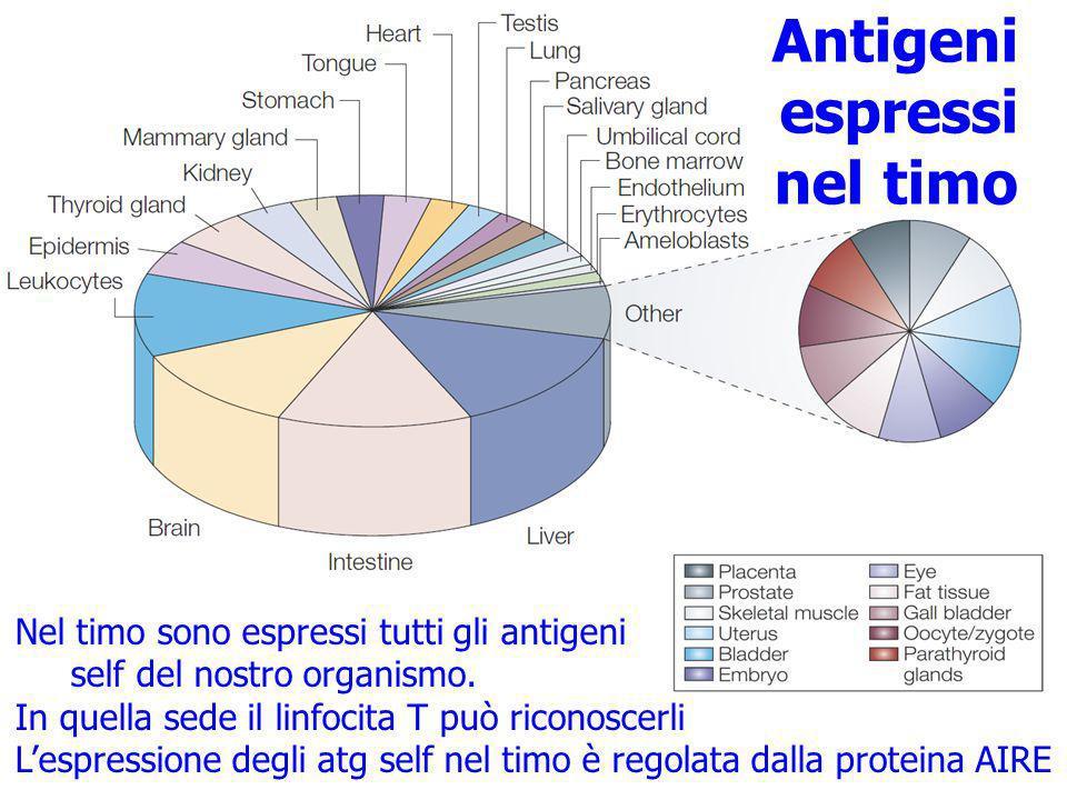 Antigeni espressi nel timo Nel timo sono espressi tutti gli antigeni