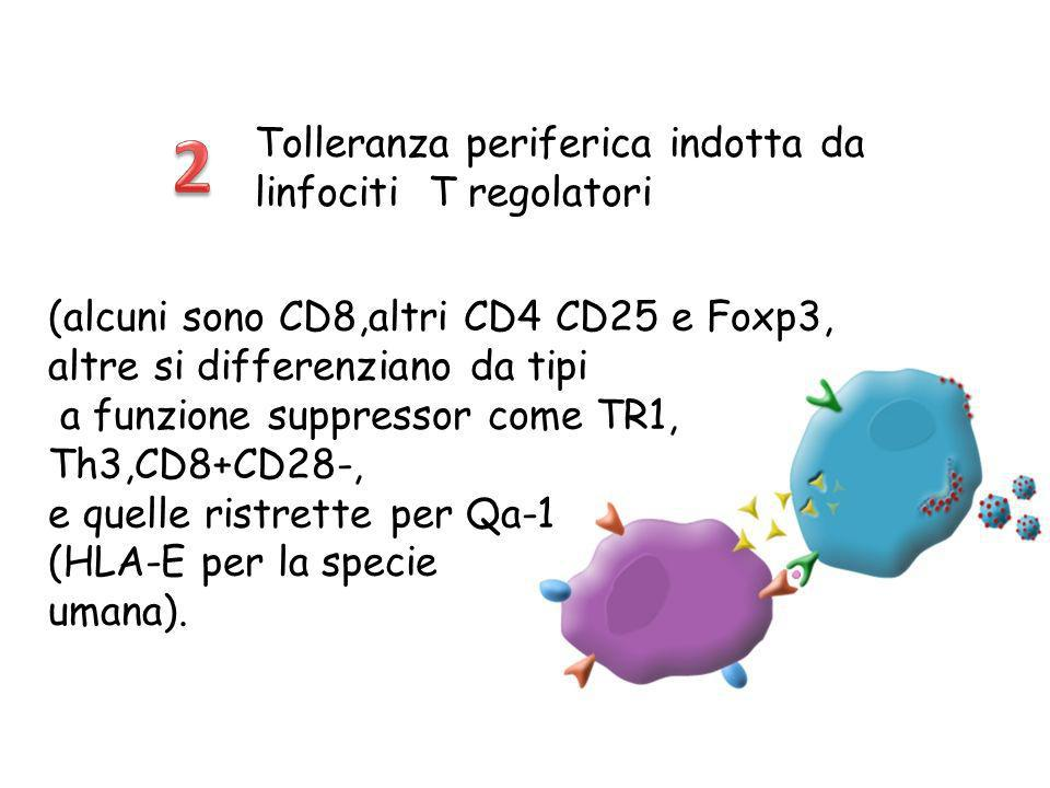 2 Tolleranza periferica indotta da linfociti T regolatori