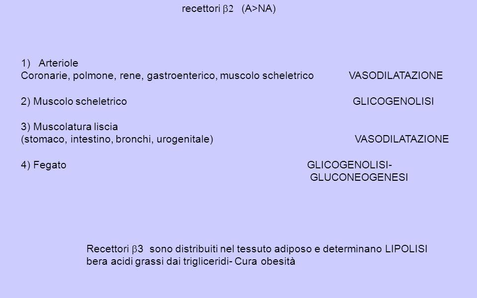 recettori b2 (A>NA) Arteriole. Coronarie, polmone, rene, gastroenterico, muscolo scheletrico VASODILATAZIONE.