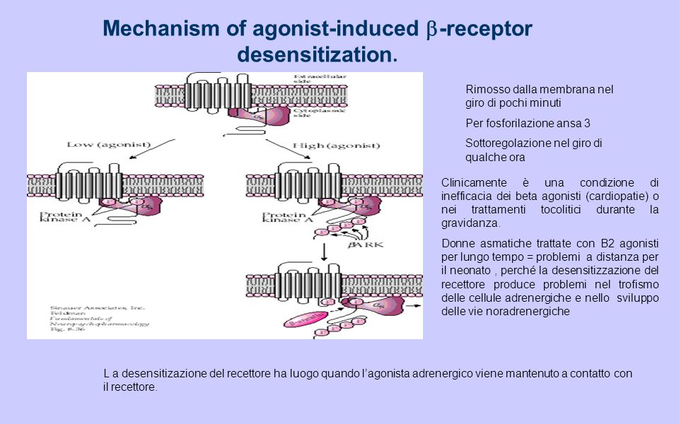 Mechanism of agonist-induced b-receptor desensitization.