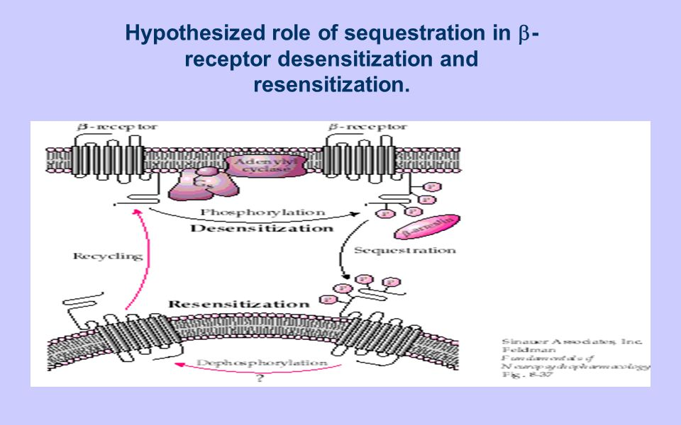 Hypothesized role of sequestration in b-receptor desensitization and resensitization.
