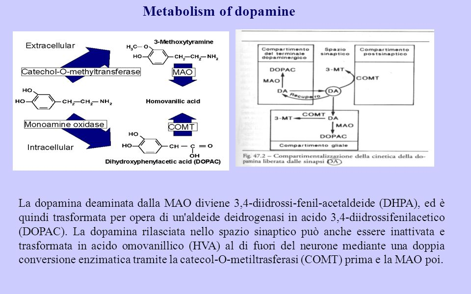 Metabolism of dopamine