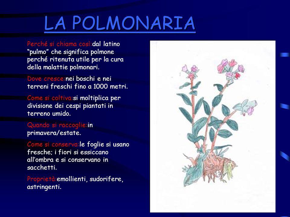 LA POLMONARIA Perché si chiama così:dal latino pulmo che significa polmone perché ritenuta utile per la cura della malattie polmonari.