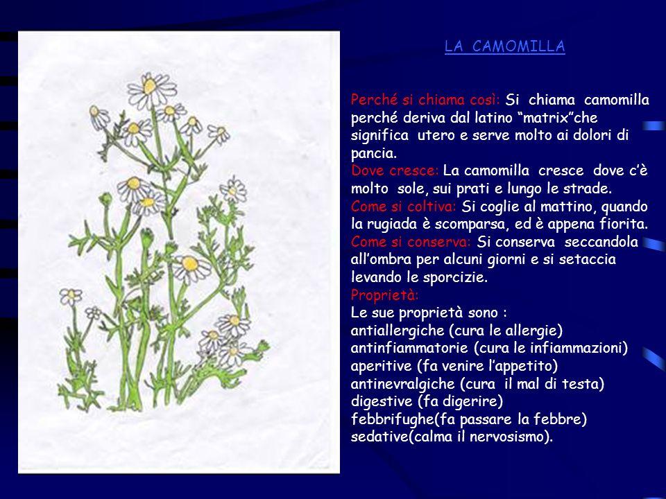 LA CAMOMILLAPerché si chiama così: Si chiama camomilla perché deriva dal latino matrix che significa utero e serve molto ai dolori di pancia.