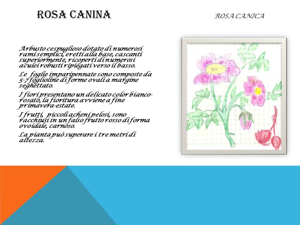 ROSA CANINA Rosa canica
