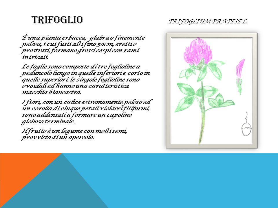 TRIFOGLIO Trifoglium pratese L.