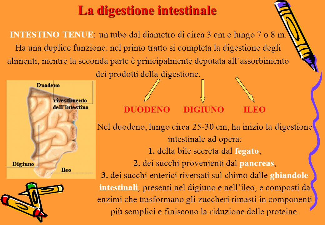 La digestione intestinale
