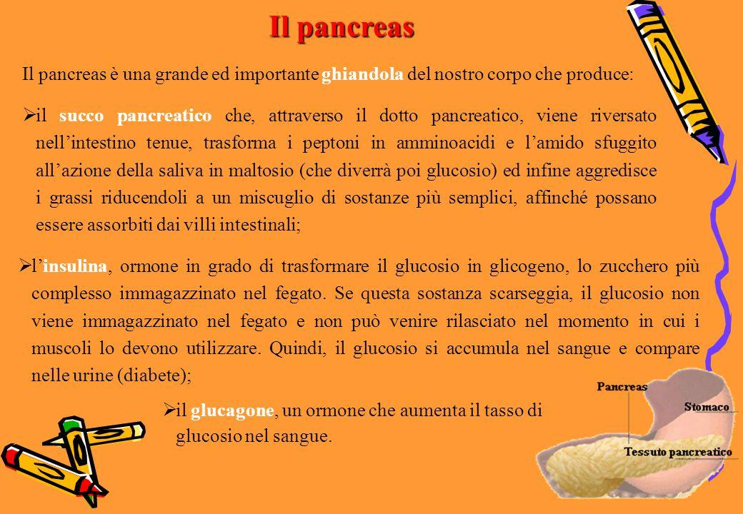Il pancreas Il pancreas è una grande ed importante ghiandola del nostro corpo che produce: