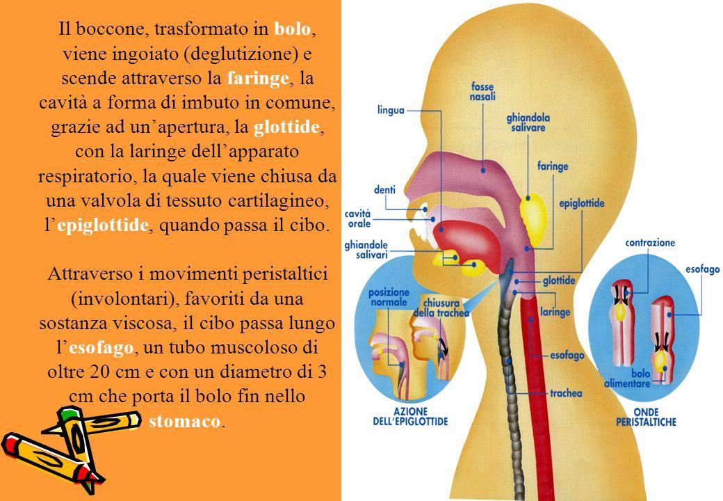 Il boccone, trasformato in bolo, viene ingoiato (deglutizione) e scende attraverso la faringe, la cavità a forma di imbuto in comune, grazie ad un'apertura, la glottide, con la laringe dell'apparato respiratorio, la quale viene chiusa da una valvola di tessuto cartilagineo, l'epiglottide, quando passa il cibo.