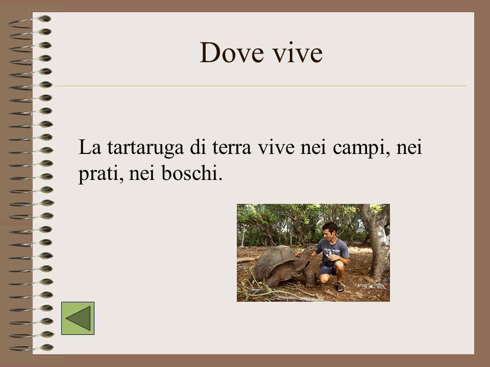 Dove vive La tartaruga di terra vive nei campi, nei prati, nei boschi.