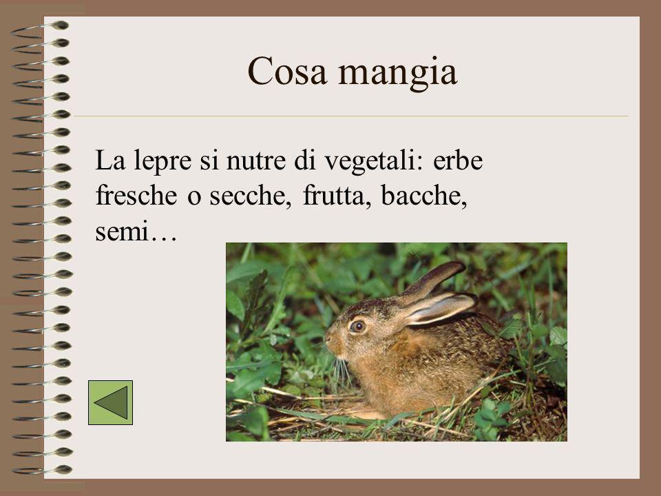 Cosa mangia La lepre si nutre di vegetali: erbe fresche o secche, frutta, bacche, semi…