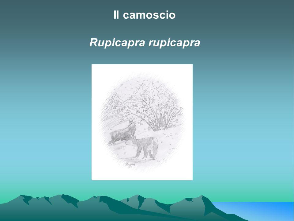Il camoscio Rupicapra rupicapra