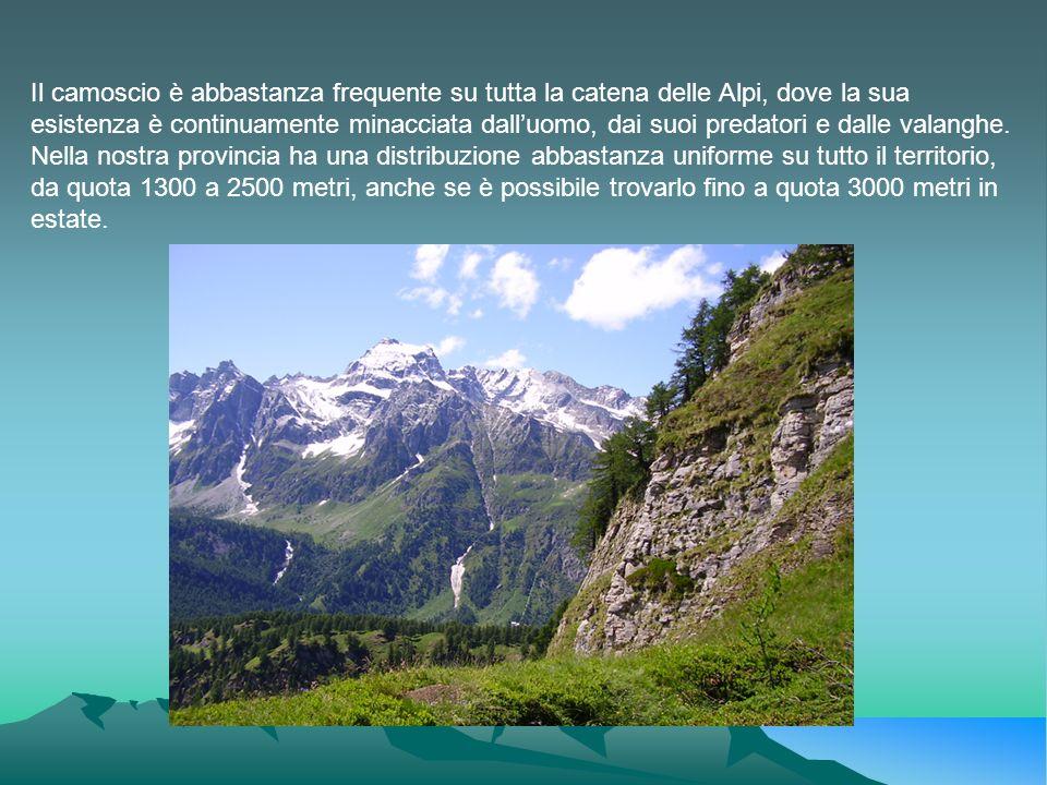 Il camoscio è abbastanza frequente su tutta la catena delle Alpi, dove la sua esistenza è continuamente minacciata dall'uomo, dai suoi predatori e dalle valanghe.
