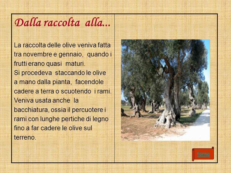 Dalla raccolta alla... La raccolta delle olive veniva fatta