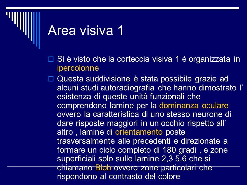 Area visiva 1Si è visto che la corteccia visiva 1 è organizzata in ipercolonne.