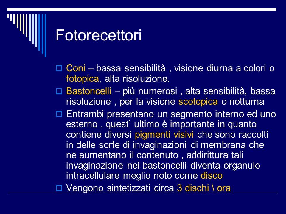 FotorecettoriConi – bassa sensibilità , visione diurna a colori o fotopica, alta risoluzione.