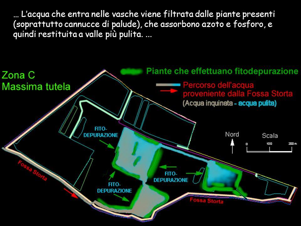 … L'acqua che entra nelle vasche viene filtrata dalle piante presenti (soprattutto cannucce di palude), che assorbono azoto e fosforo, e quindi restituita a valle più pulita.