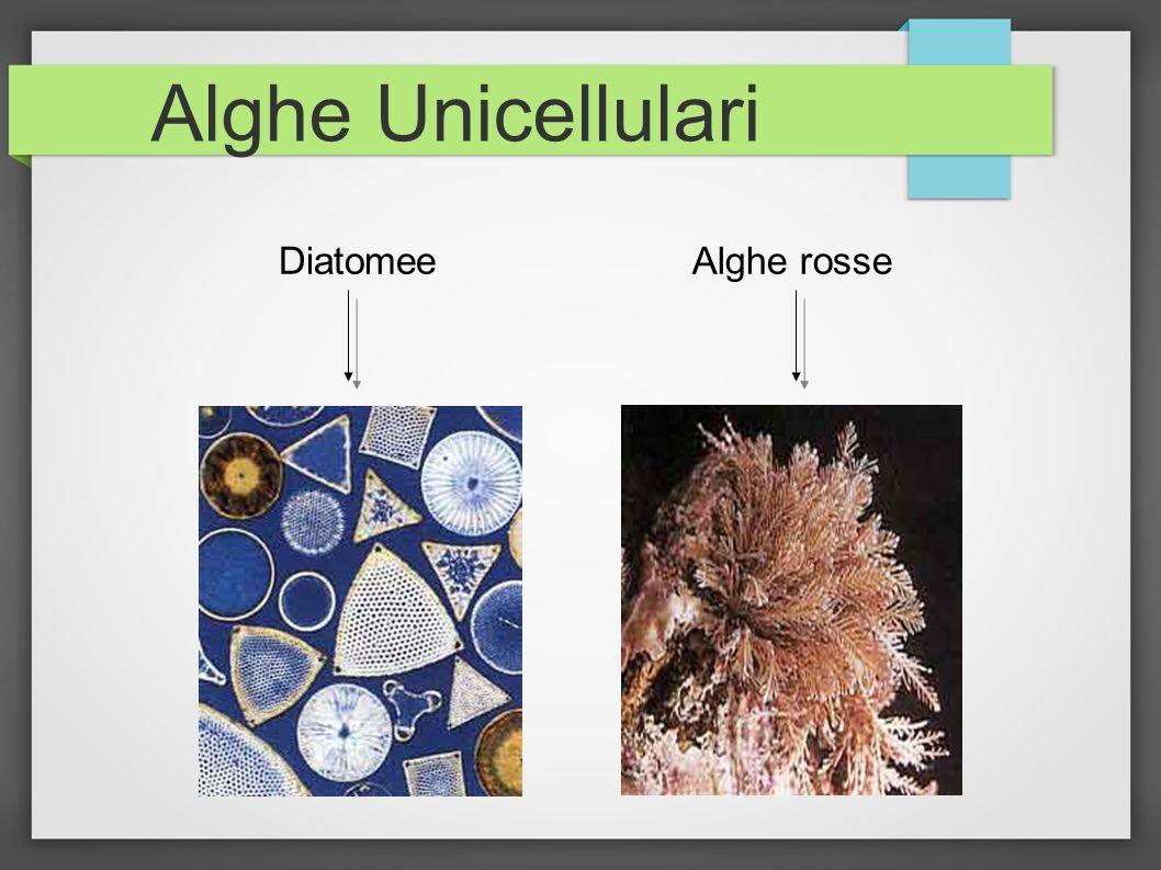 Alghe Unicellulari Diatomee Alghe rosse