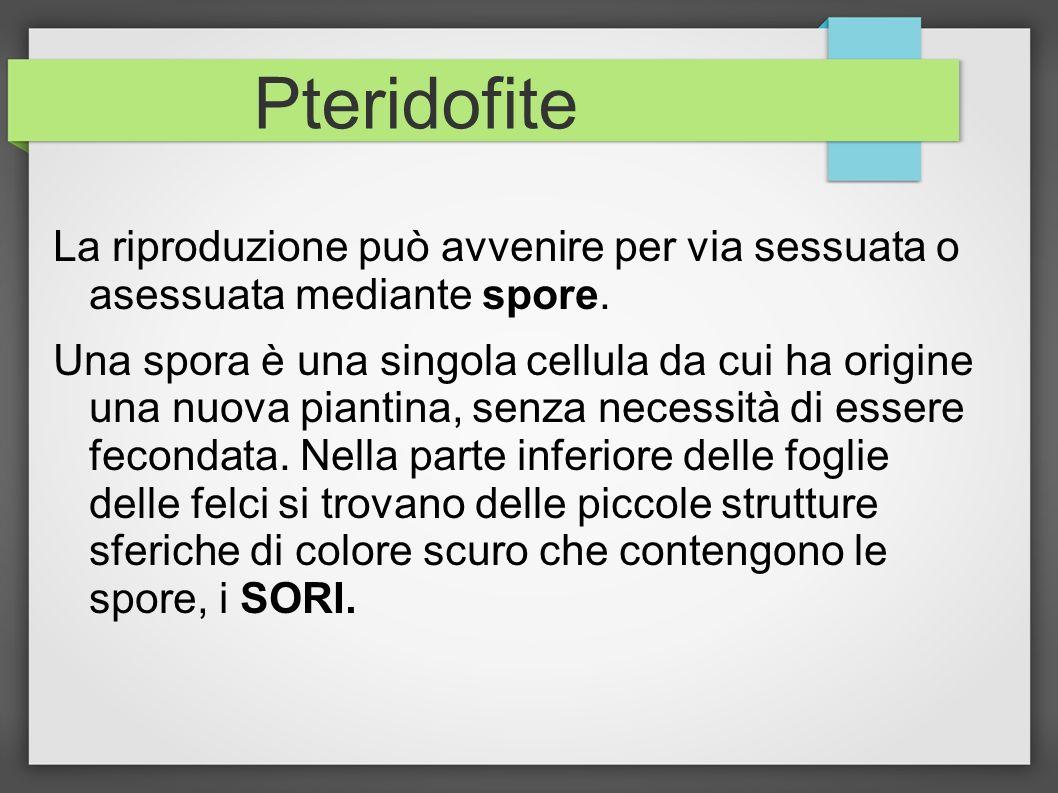Pteridofite La riproduzione può avvenire per via sessuata o asessuata mediante spore.