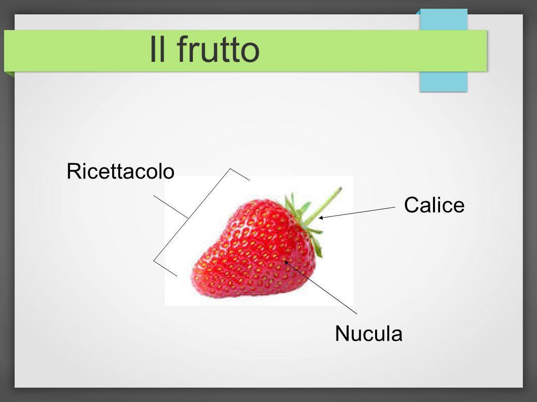 Il frutto Ricettacolo Calice Nucula