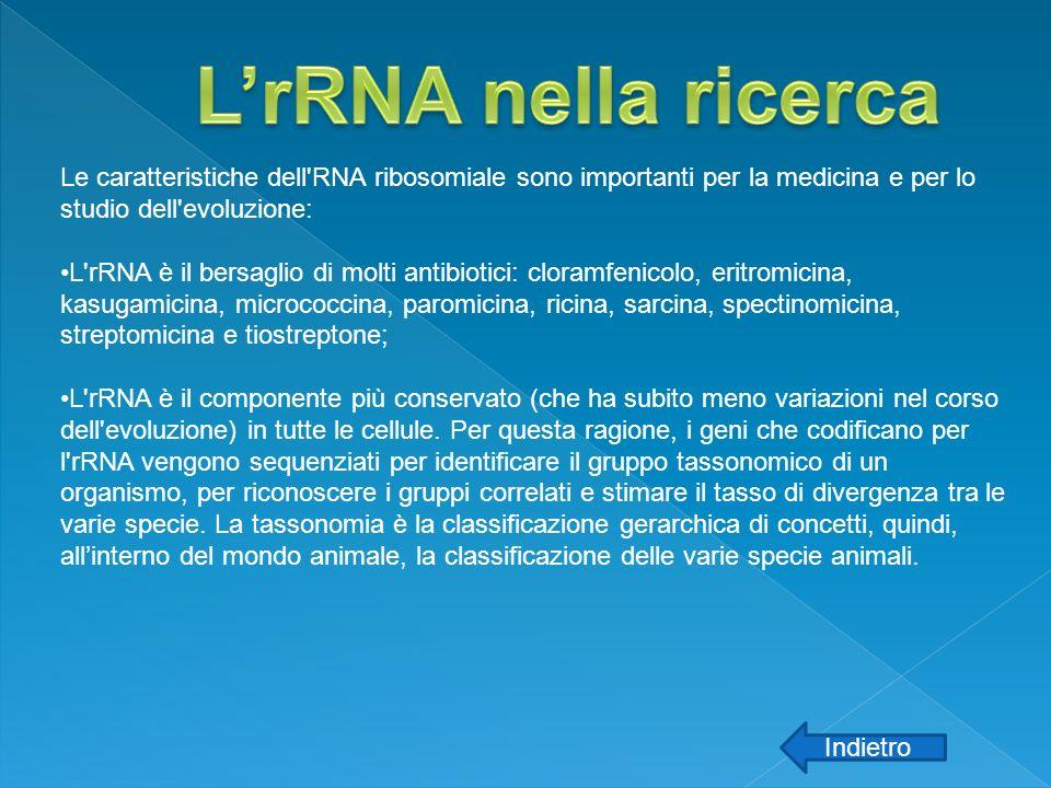 L'rRNA nella ricerca Le caratteristiche dell RNA ribosomiale sono importanti per la medicina e per lo studio dell evoluzione: